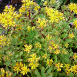 Sedum_Weihenstephaner_Gold