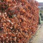 Fagus_Sylvatica_in_de_winter