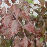 blad Fagus Atropurpurea