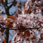 Prunus nigra bloem