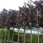 Prunus nigra lei