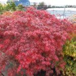 Acer Garnet met herfstblad