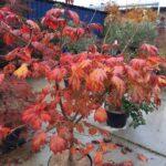 Acer aconitifolium herfst