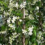 Toscaanse Jasmijn met bloemen