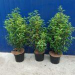 Haagplanten_90cm